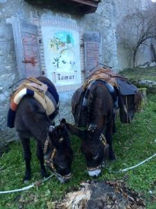 Le asinelle della Compagnia degli Asinelli a Borgo Tamar, Val Tramontina...