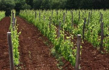 Gourmet_Wine - Vino_vinograd-01