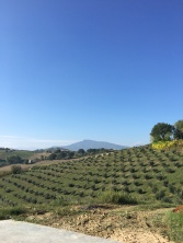 oliveto ascolana