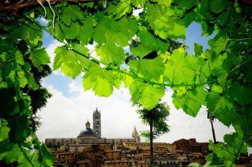 Siena_Senarum Vinea